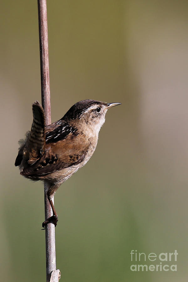 Marsh Wren April 4 by Sue Harper