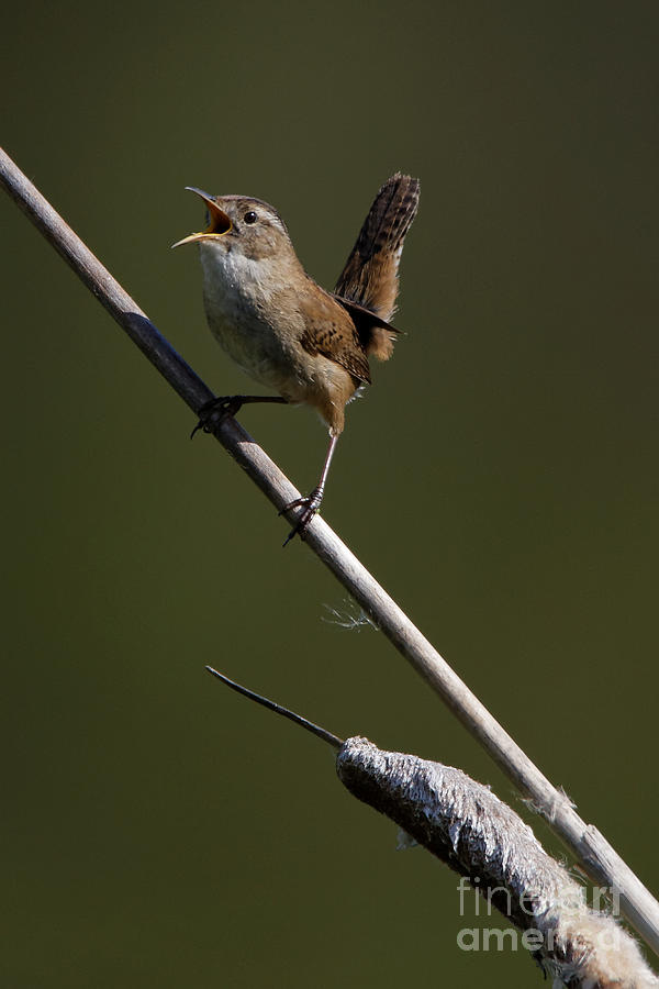 Marsh Wren April 5 by Sue Harper