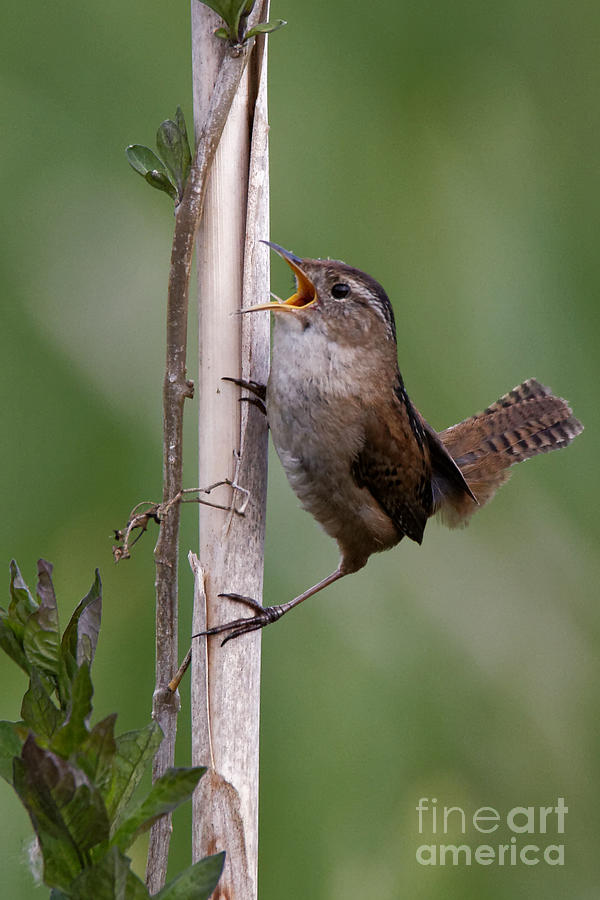Marsh Wren in the Green by Sue Harper