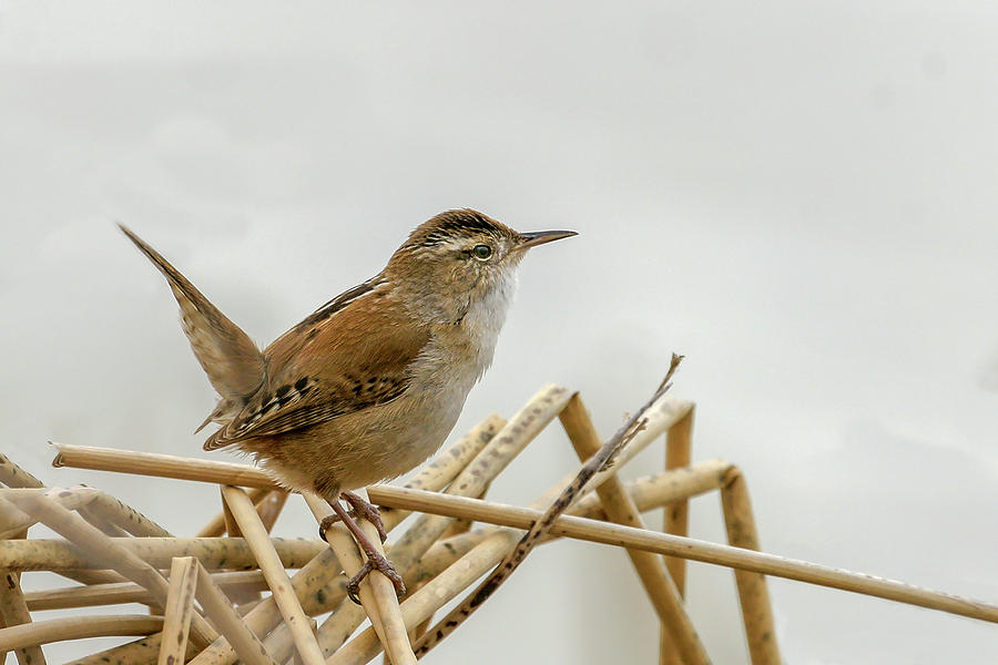 Marsh Wren by Ronnie and Frances Howard