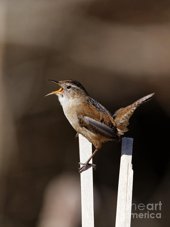 Marsh Wren The Singer Photograph