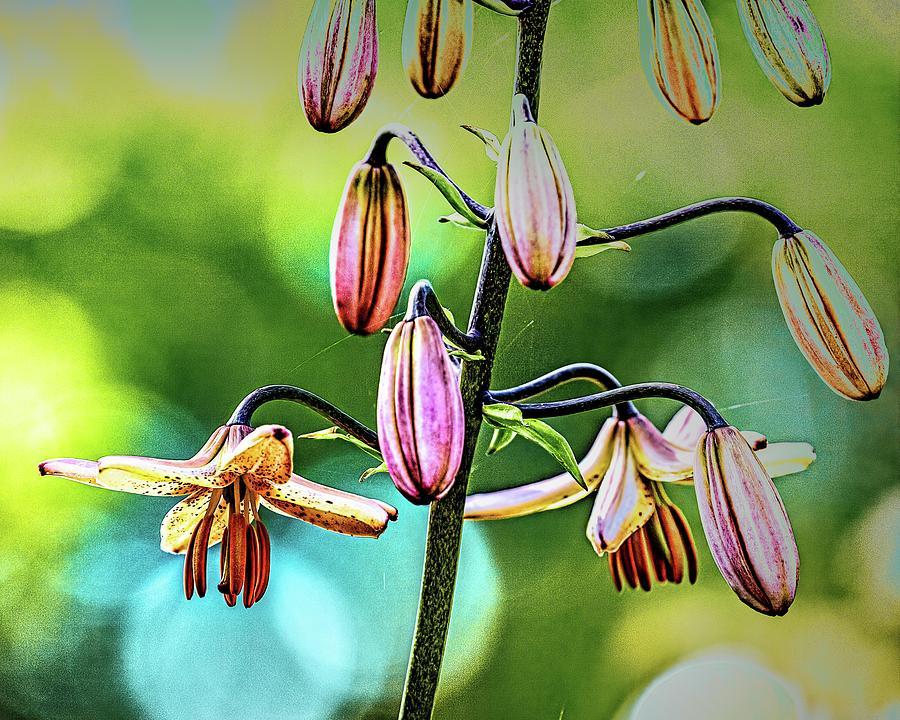 Martagon lily #i8 by Leif Sohlman
