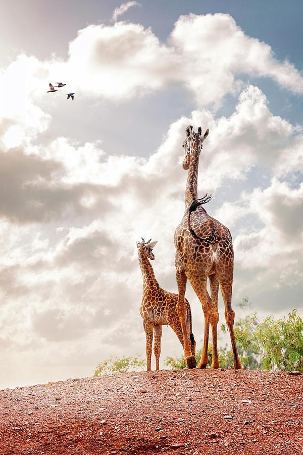 Masai Giraffe at Phoenix Zoo by Susan Schmitz