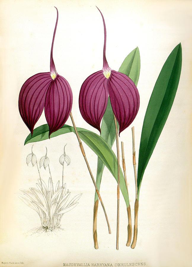 Masdevallia Harryana Coerrulescens Vintage Lindenia Orchid by Jean Jules Linden