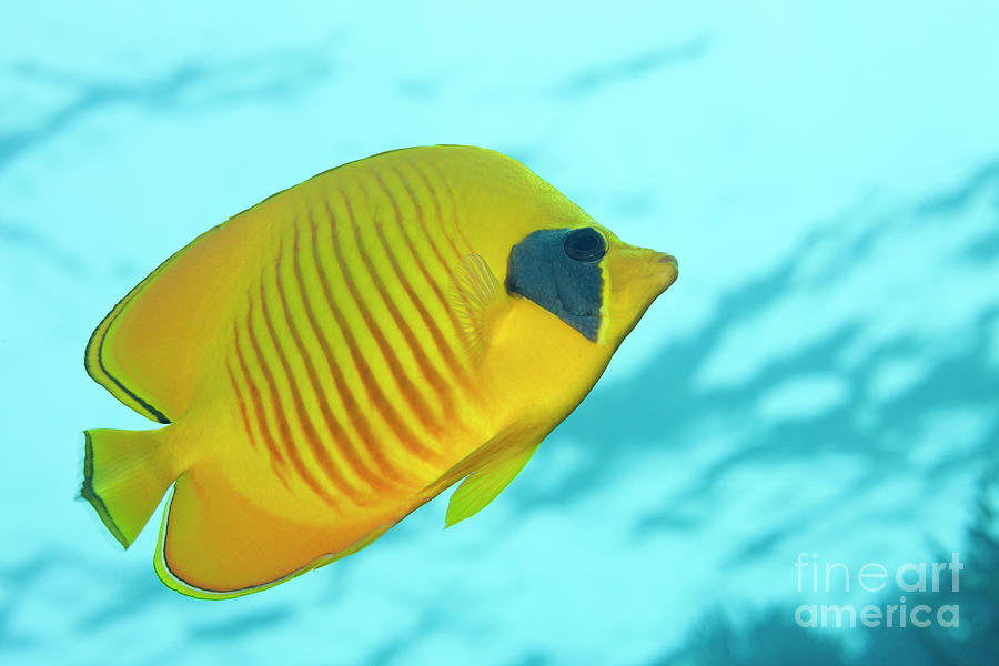 Endemic Photograph - Masked Butterflyfish by Reinhard Dirscherl/science Photo Library