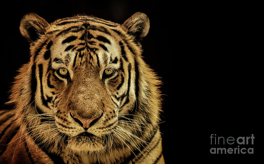 Massive Tiger by Julian Starks