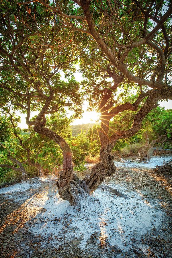 Mastic Tree of Chios  by Emmanuel Panagiotakis