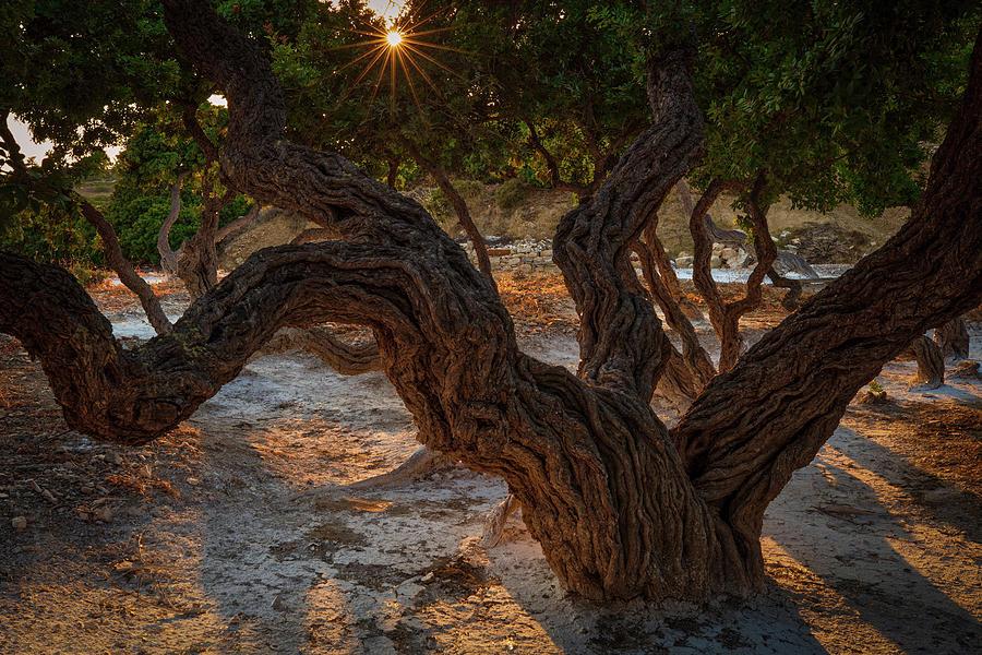 Mastiha Tree of Chios  by Emmanuel Panagiotakis