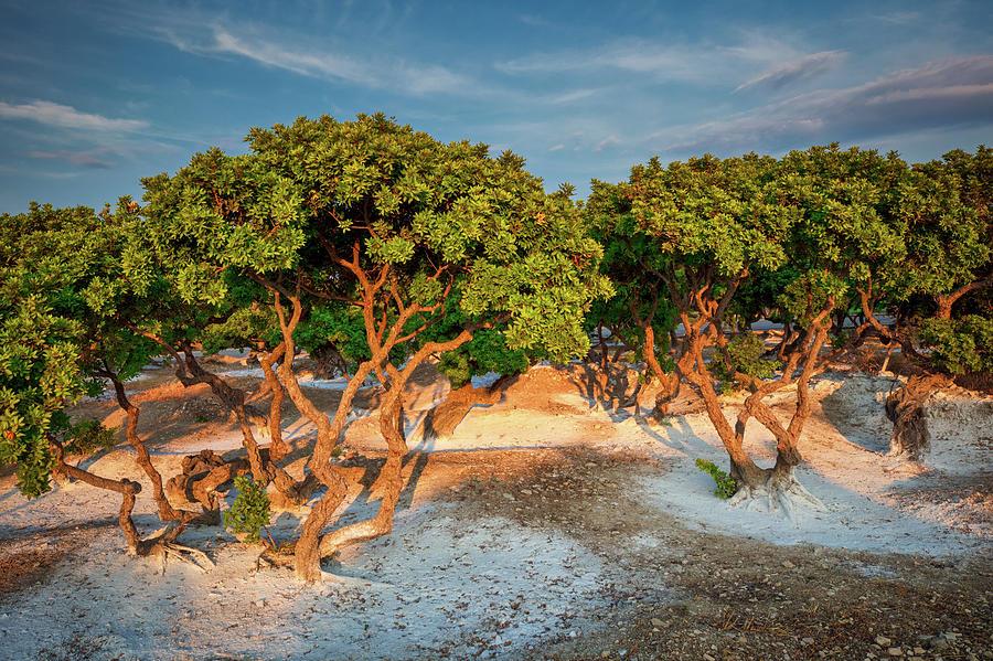 Mastixa Tree  by Emmanuel Panagiotakis
