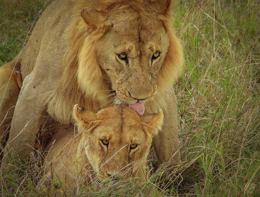 MATING LIONS by Elie Wolf