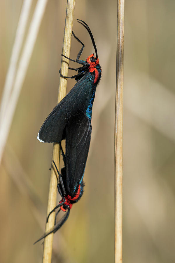 Mating Moths by Robert Potts