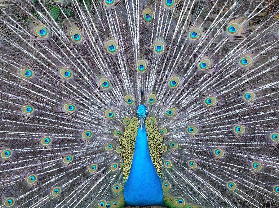 Maui Peacock Full Photograph by Lisa Venable