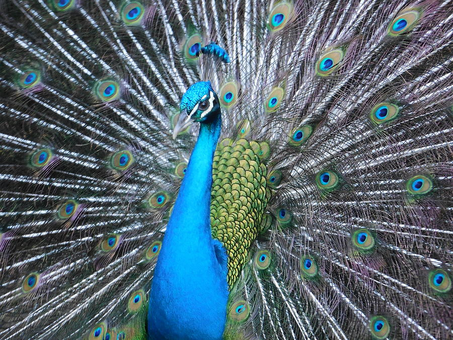 Peacock Photograph - Peacock Majesty Maui by Lisa Venable