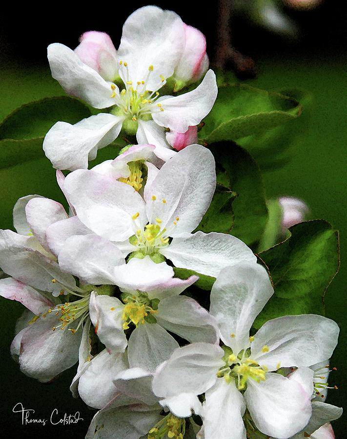 May Apple Blossoms by Thomas Colstad