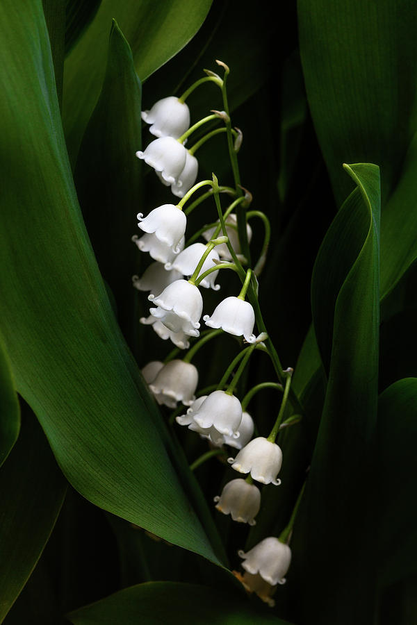 May Lily aka Lily of the Valley by Tom Mc Nemar