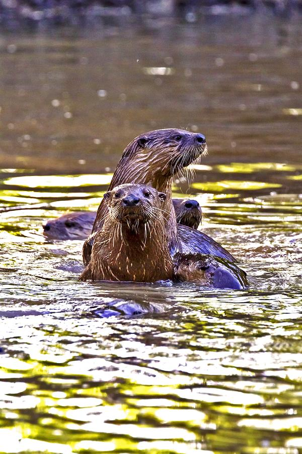 May Day Swarm Of Otters Photograph