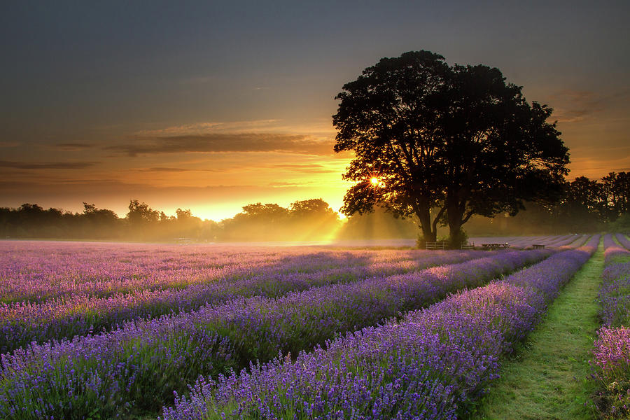 Mayfair Lavender At Sunrise Photograph by Getty Images
