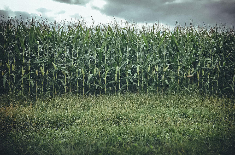 Corn Photograph - Maze Field by Steve Stanger