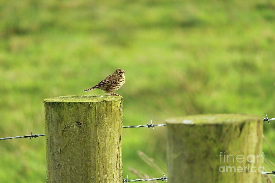 Meadow Pipit Donegal Ireland  by Eddie Barron