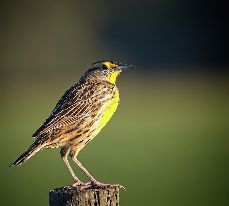 Meadowlark No 1 by Steve DaPonte