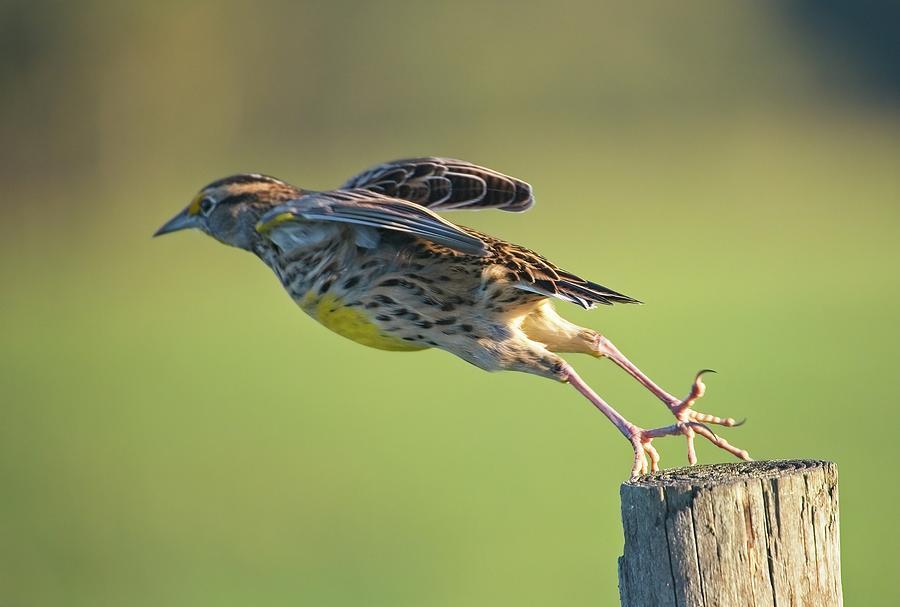 Meadowlark No 2 by Steve DaPonte