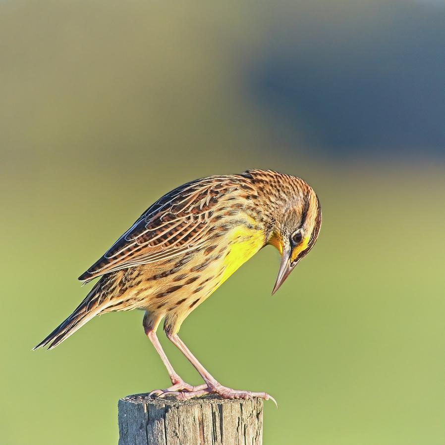 Meadowlark No 3 by Steve DaPonte