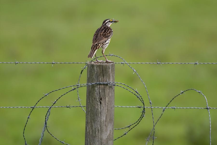 Meadowlark on Fence Post with Grasshopper by T Lynn Dodsworth