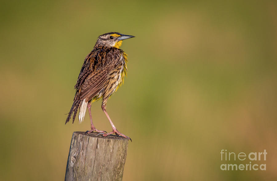 Meadowlark on Post by Tom Claud