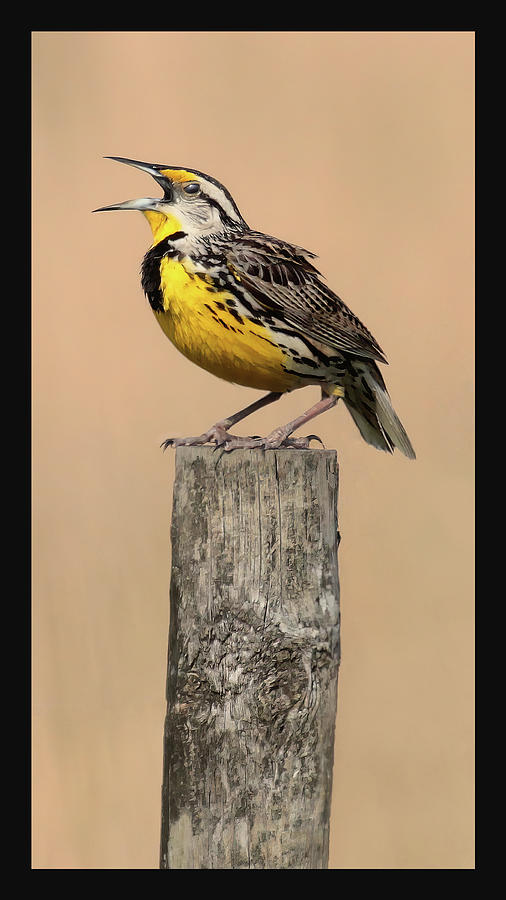 Meadowlark Trilogy 1 by HH Photography of Florida