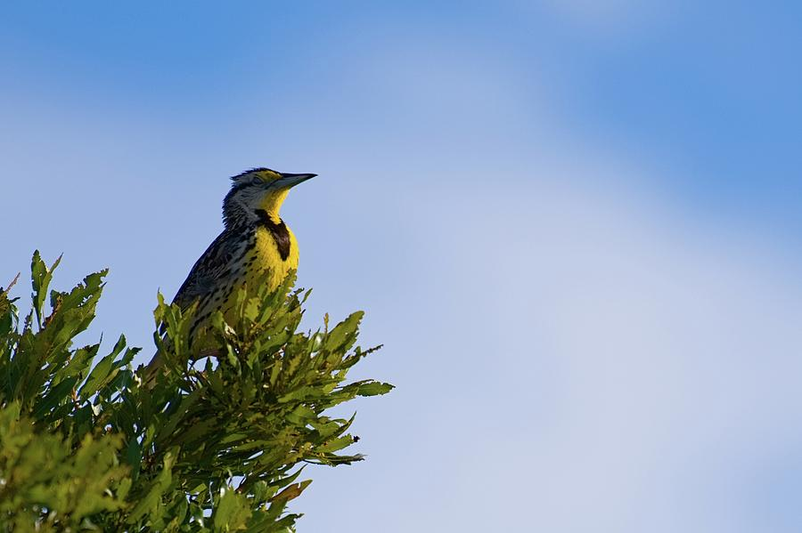 Meadowlark's Treetop Perch by T Lynn Dodsworth