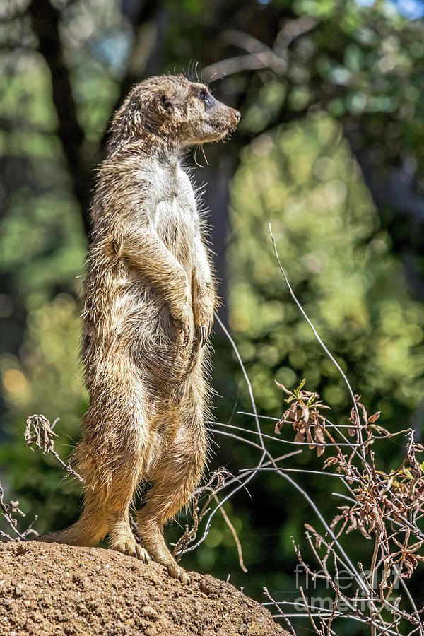 Meerkat Alert by Kate Brown