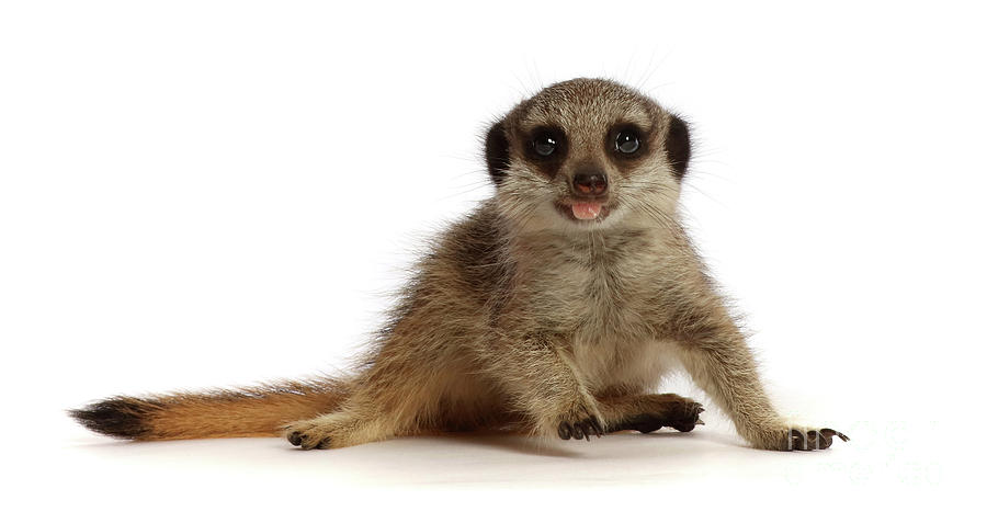 Meerkat Bad Manners by Warren Photographic