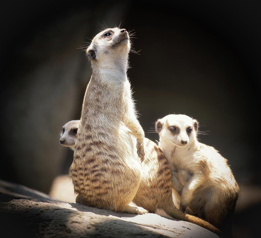 Meerkat  by Christopher Cutter