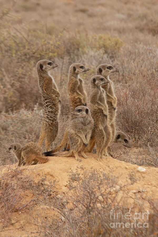 Meerkat family in the wild on guard by Patricia Hofmeester