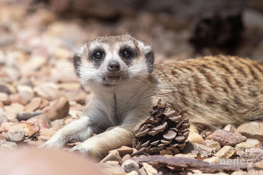 Animals Photograph - Meerkat by Nicki Hoffman