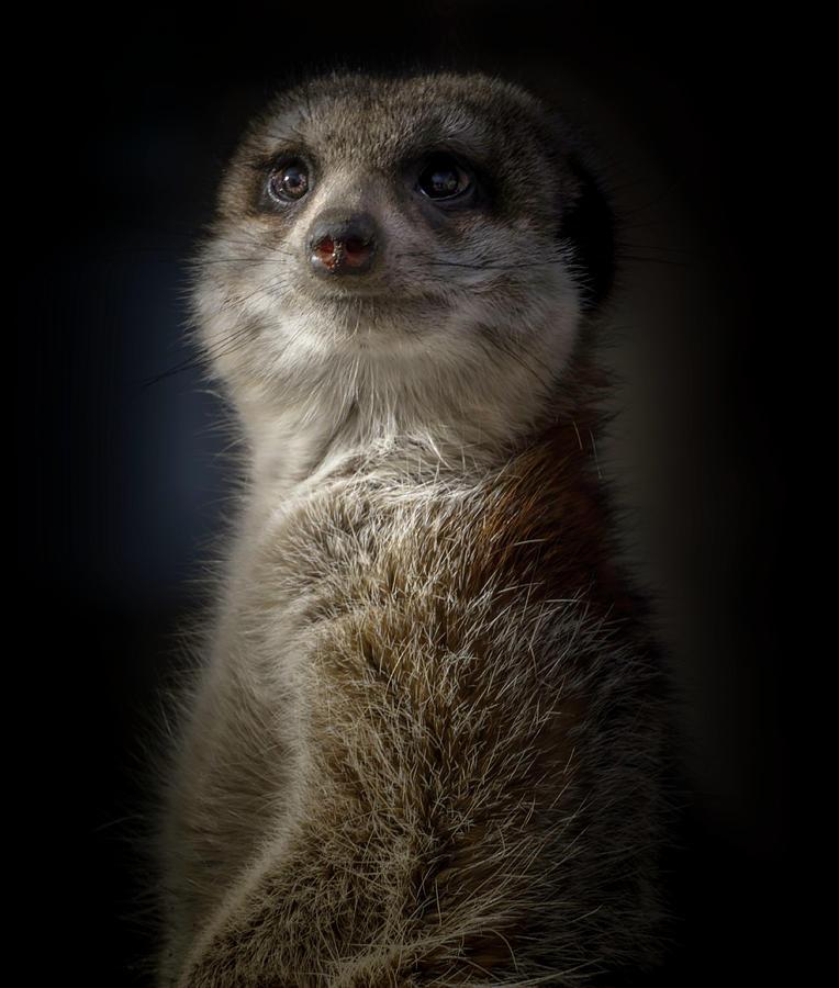 Meerkat Portrait by Peter Wagner
