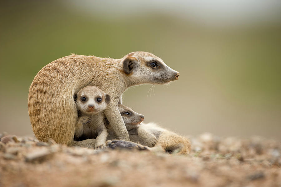 Meerkat Pups With Adult, Namibia Photograph by Paul Souders