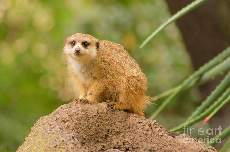 Meerkat by Sean Griffin