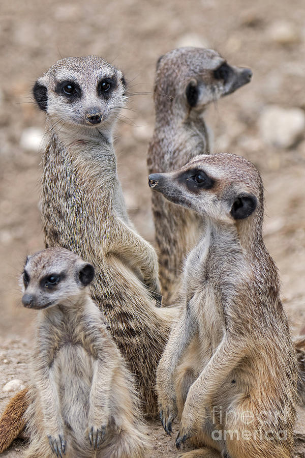 Alarmed Photograph - Meerkats by Arterra Picture Library