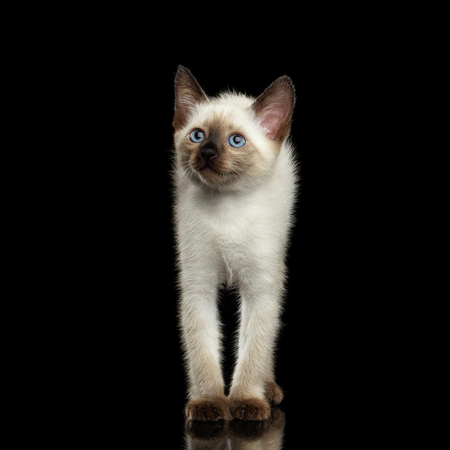 Kitty Photograph - Mekong Bobtail Kitty with Blue eyes on Isolated Black Background by Sergey Taran