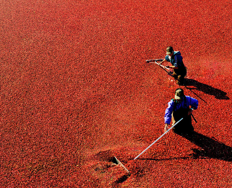 Men Harvesting Cranberry In Bog Photograph by Preston Schlebusch