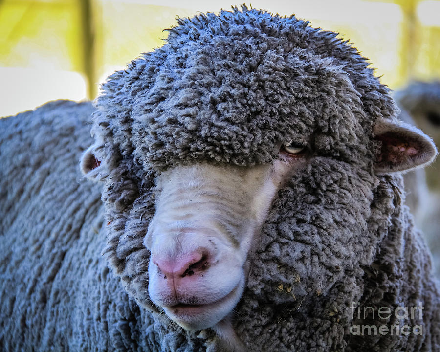 Merino Sheep Portrait by Lyl Dil Creations