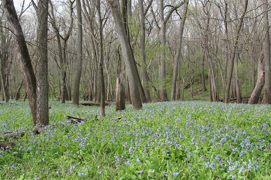Merwin Lowland Bluebells by Dylan Punke
