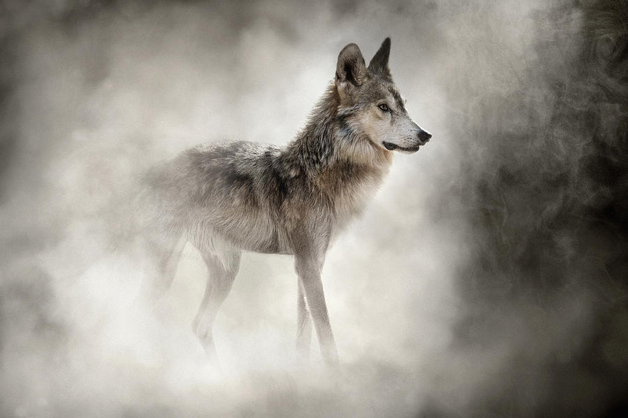 Mexican Gray Wolf In The Dust by Susan Schmitz