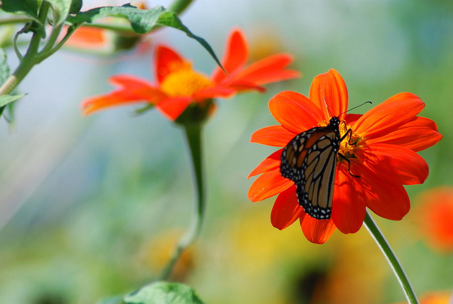 Mexican Sunflowers And Monarch Connection Photograph by Ee ...
