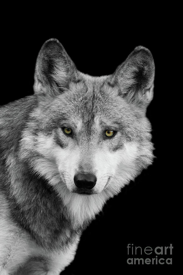 Mexican Wolf #3 Black And White T O C by Judy Whitton