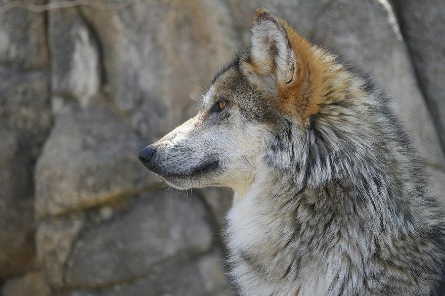 Mexican Wolf 3 by Fraida Gutovich