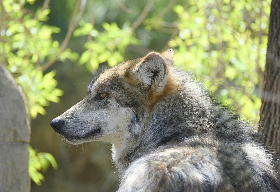 Mexican Wolf 4 by Fraida Gutovich