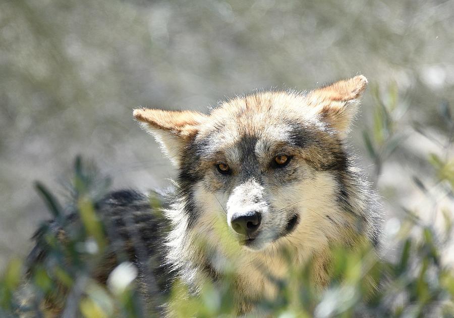 Mexican Wolf 5 by Fraida Gutovich