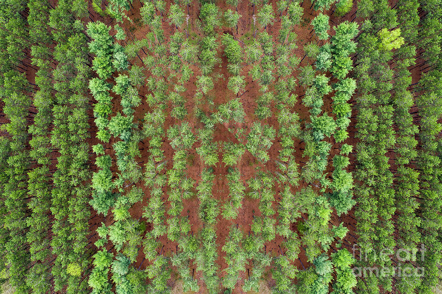 Manistee Photograph - Michigan Pine Rows Aerial by Twenty Two North Photography